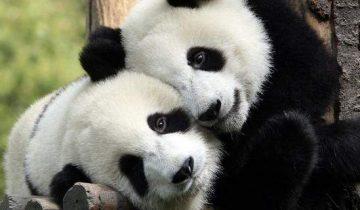 panda-agalia