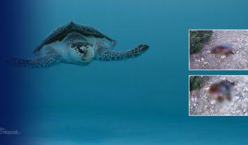 βασανισμός καρέτα καρέτα χελώνα