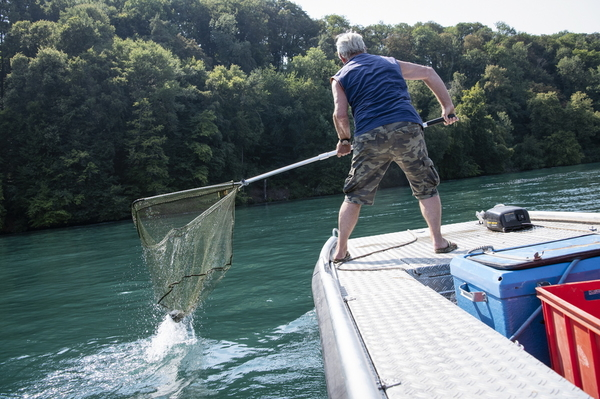 epa06931063 Members of the fishers association Neuhausen remove dead fish from the Rhine river, in Neuhausen, Switzerland, 06 August 2018. The cold-loving grayling suffer from the heat. From 23 degrees Celcius onward these fish show first stress symptoms.  EPA/MELANIE DUCHENE