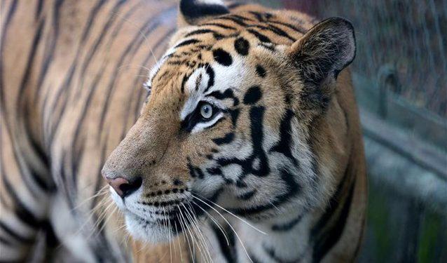 tigrhs