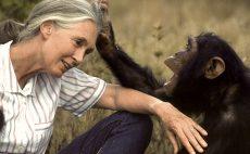 Orphan chimpanzee at Tchimpounga Sanctuary grooms Dr. Jane Goodall