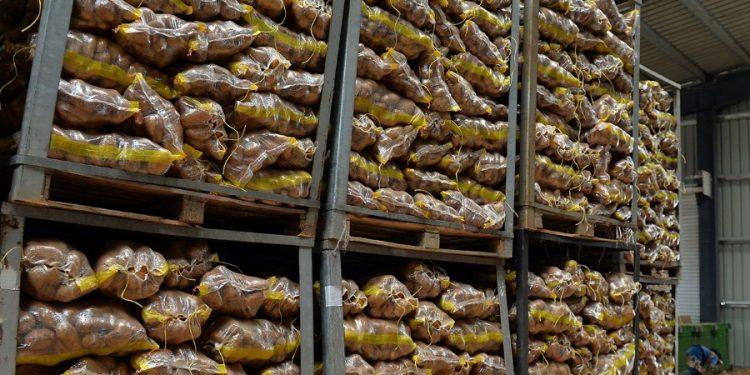 Potatoe harvest in Bekaa valley