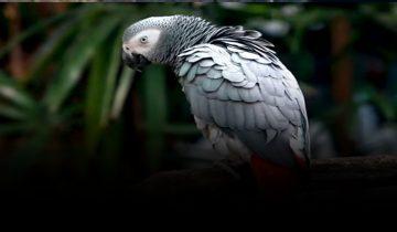 papagalos-exo