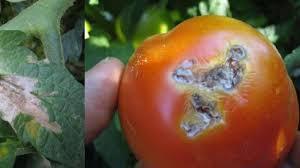 tomates-ios