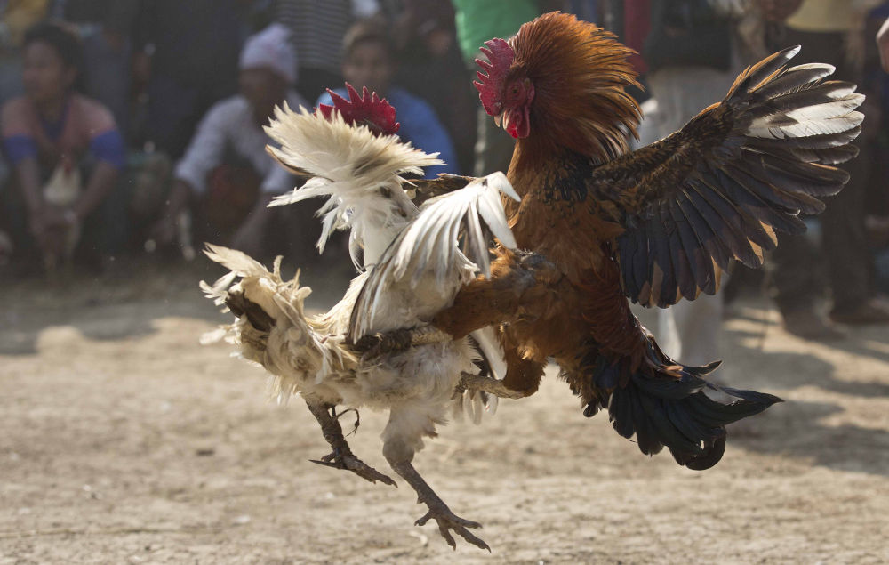 Roosters attack each other during a rooster fight as part of Jonbeel festival near Jagiroad, about 75 kilometers (47 miles) east of Gauhati, India, Friday, Jan. 20, 2017. Tribal communities like Tiwa, Karbi, Khasi, and Jaintia from nearby hills come down in large numbers to take part in the festival and exchange goods through an established barter system. (AP Photo/Anupam Nath)