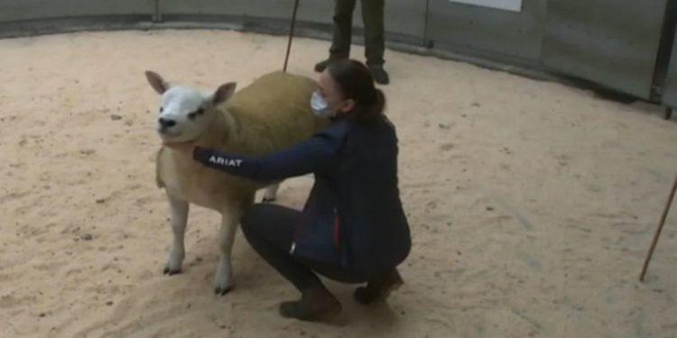 sheep-auction
