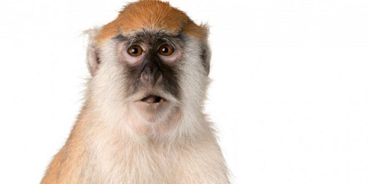 monkey_shutterstock_293857409
