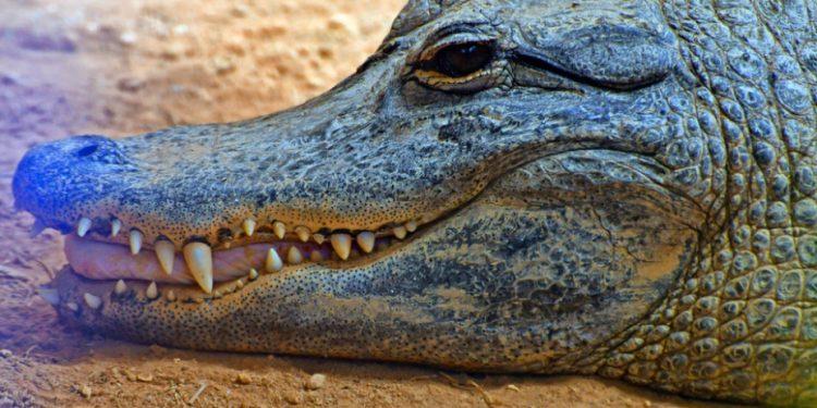 ape-aligatoras