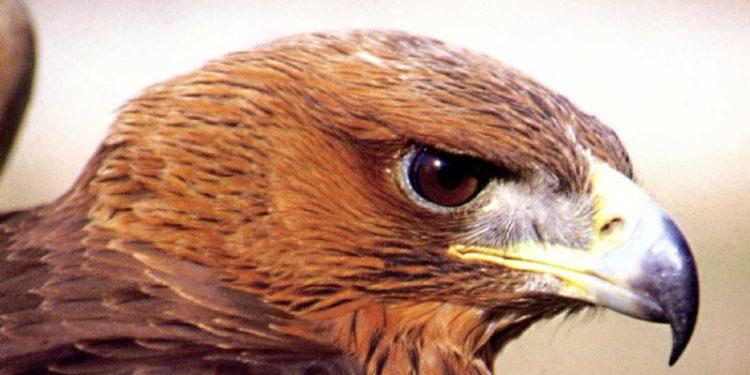 hieraaetus-fasciatus-spizaetos
